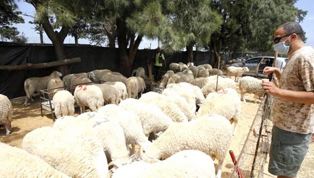 un acheteur sélectionne le mouton qu'il va acheter
